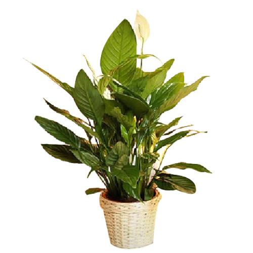 Sophisticated Spathiphyllum Plant with Trash
