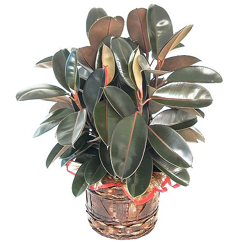 Captivating Display of Green Rubber Plant