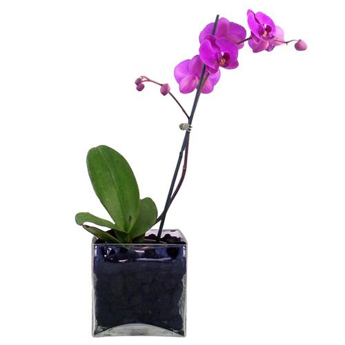 Ready-to-Bloom Pink Orchid Plant