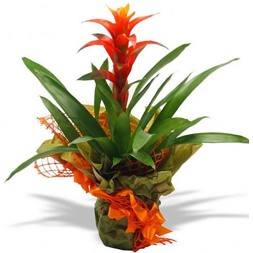 Graceful Display of Guzmania Plant for Home