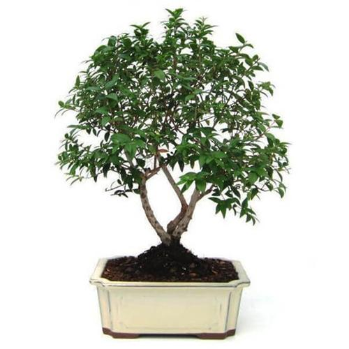 Graceful Alberetto Bonsai