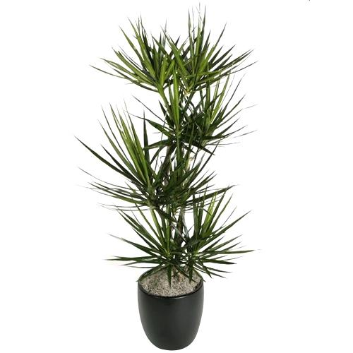 Cheerful All Time Favorite Dracaena Plant