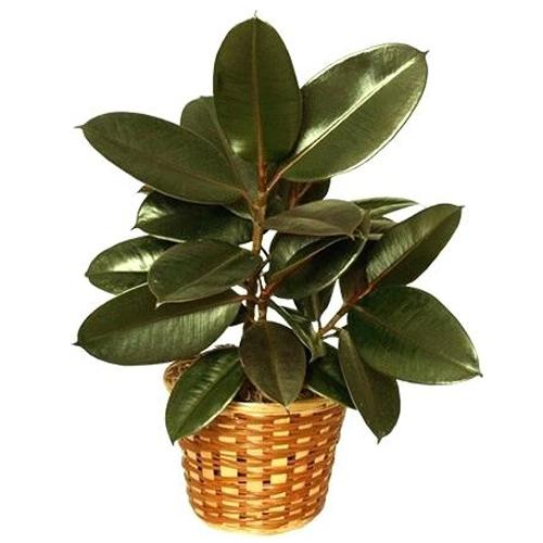 Lovely Best Greetings with Rubber Plant