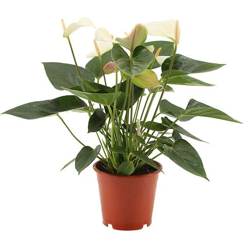 Lovely Full Enjoyment Spathiphyllum Plant