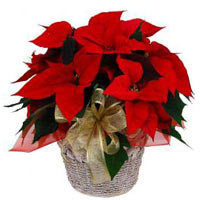 Cheerful Red Poinsettia Bouquet<br>