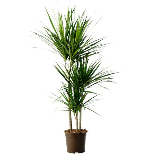 Delightful House Friendly Dracaena Plant