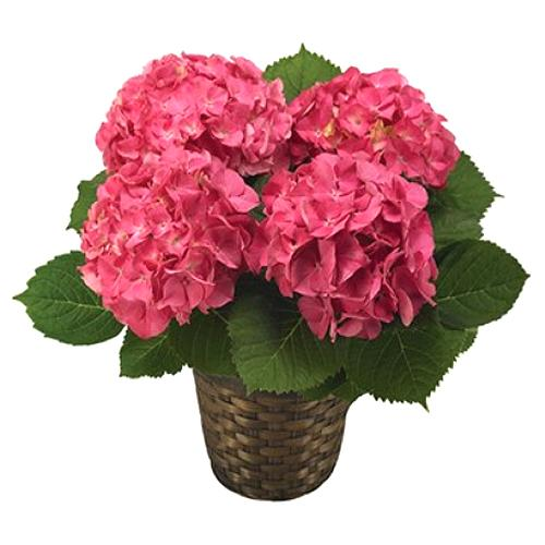 Graceful Selection of Pink Hydrangea Plant