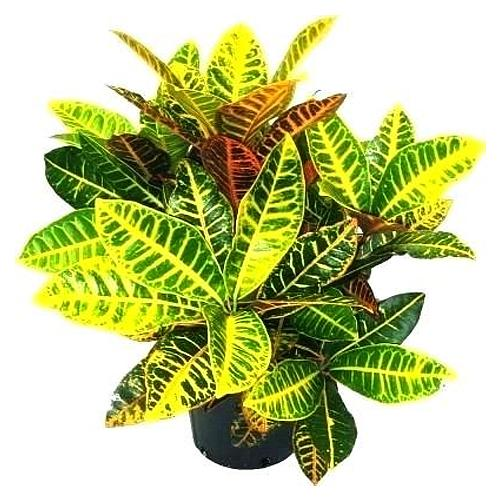 Complementary Freshen Up Croton plant