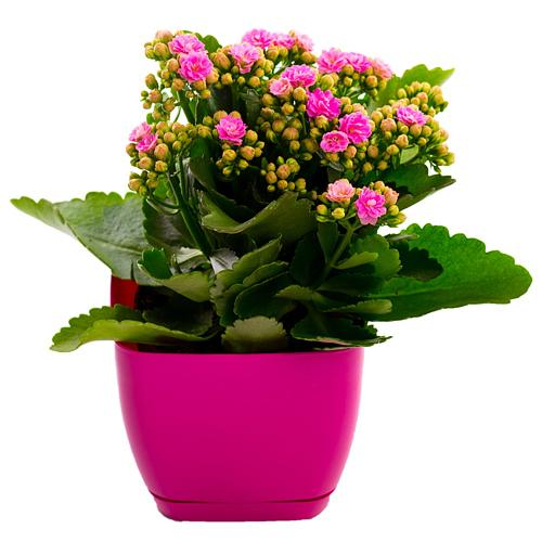 Tender Display of Kalanchoe Rose Plant