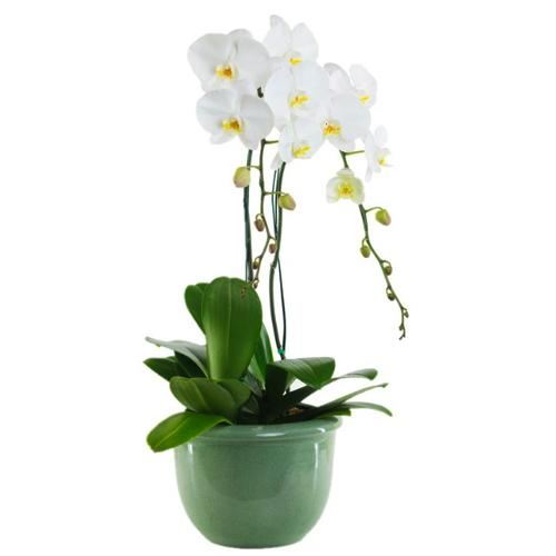 Breathtaking Garden of Orchid White Phalenopsis