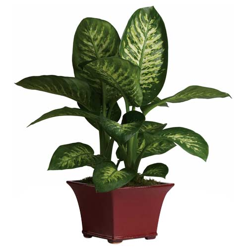 Attractive Home Decor Diffenbachia Plant