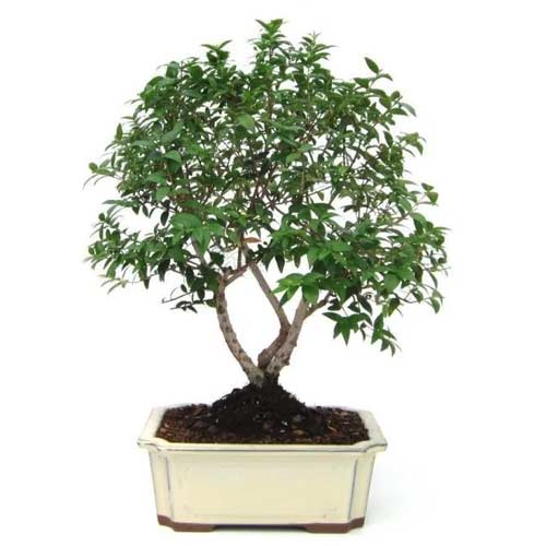 Fresh Gardening Treasure Gift of Alberetto Bonsai Tree