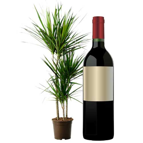 Sophisticated Single Bottle of Red Wine and Ever Green Plant